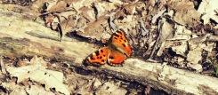 Farfalla_rev